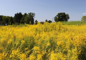 successional_field